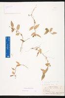 Commelina diffusa var. diffusa image