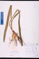 Hymenocallis rotata image