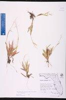 Dichanthelium strigosum var. strigosum image