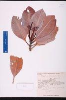 Rhizophora mucronata image