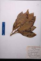 Image of Bruguiera cylindrica
