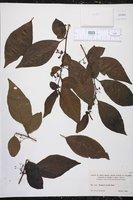 Aureliana fasciculata image