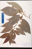 Acalypha salicioides image