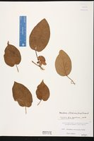 Marsdenia altissima image