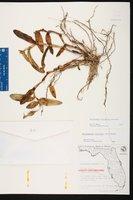 Epidendrum floridense image