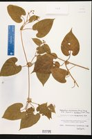 Cynanchum racemosum image