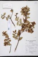 Image of Acokanthera schimperi