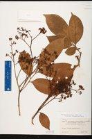 Trichilia oblanceolata image