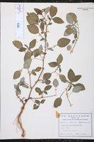 Image of Euphorbia scabrella