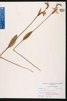Pogonia ophioglossoides image