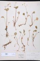 Montia cordifolia image
