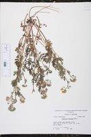Phacelia hirsuta image