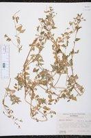Stellaria nemorum image