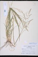 Coleataenia longifolia image