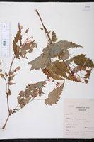 Begonia sutherlandii image