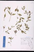 Ruellia pinetorum image