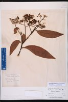 Sassafridium macrophyllum image