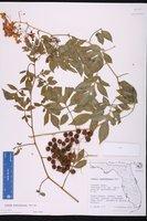 Solanum seaforthianum image