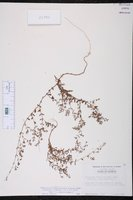 Paronychia baldwinii subsp. riparia image