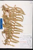 Nephrolepis biserrata image