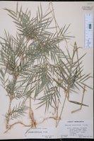 Chusquea abietifolia image