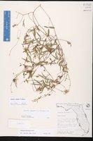 Galactia pinetorum image