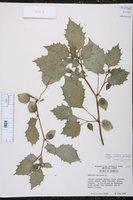 Physalis angulata image