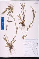 Dichanthelium erectifolium image