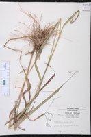 Arundinella setosa image