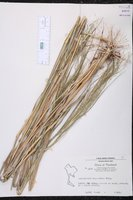 Arundinella nepalensis image