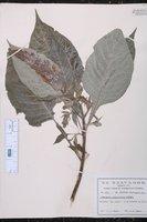 Image of Aphelandra gigantiflora