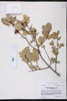 Quercus wislizeni var. frutescens image