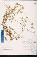 Evolvulus convolvuloides image
