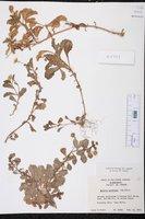 Egletes prostrata image