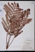 Phyllanthus mimosoides image