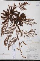 Image of Mimosa tarda