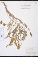 Image of Astragalus humboldtii