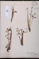 Image of Lophotocarpus spongiosus