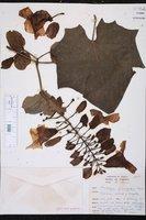Thunbergia grandiflora image