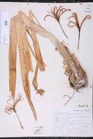 Image of Nerine bowdenii