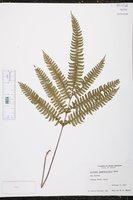 Image of Lindsaea quadrangularis