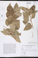 Image of Croton boregensis