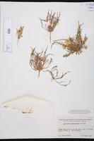 Image of Oenothera sceptrostigma