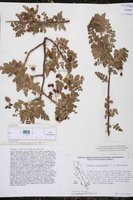 Bursera filicifolia image