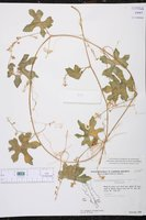 Vaseyanthus insularis image