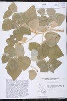 Croton magdalenae image