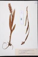 Dactylorhiza incarnata image