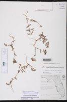 Euphorbia ophthalmica image