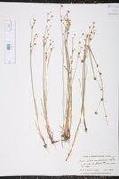 Juncus alpinoarticulatus subsp. rariflorus image