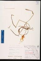 Dendrophylax lindenii image